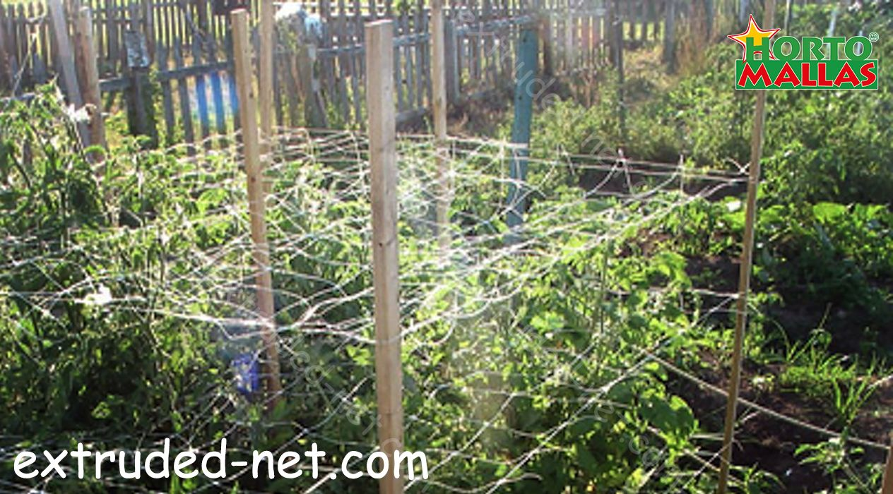 triple tutoration of tomato crops with Trellis net
