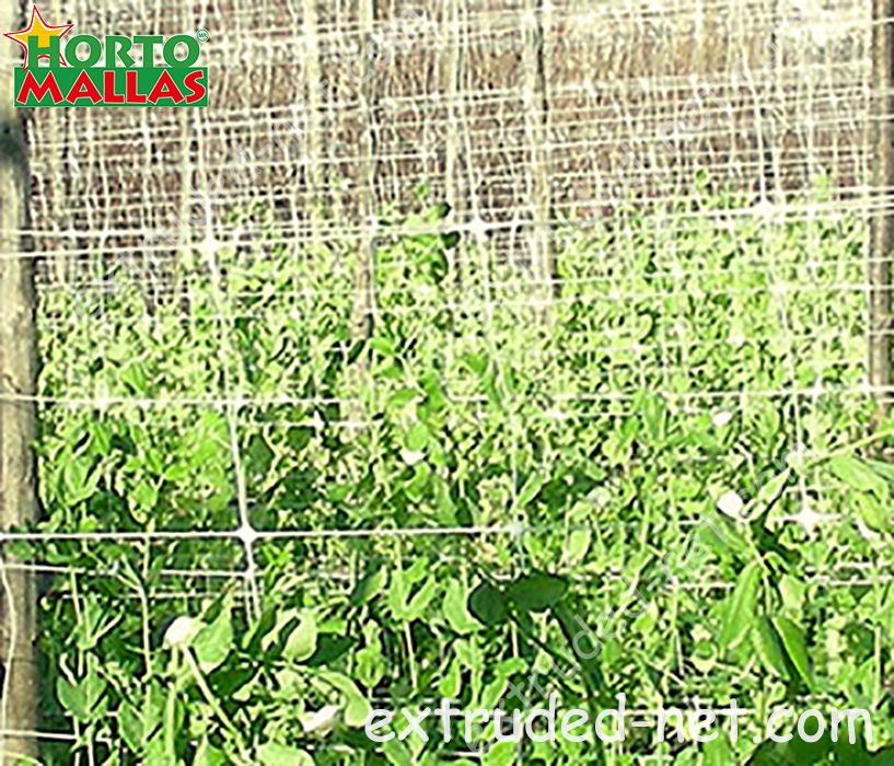 Espalier trellis net used for the tutoring of beans crops