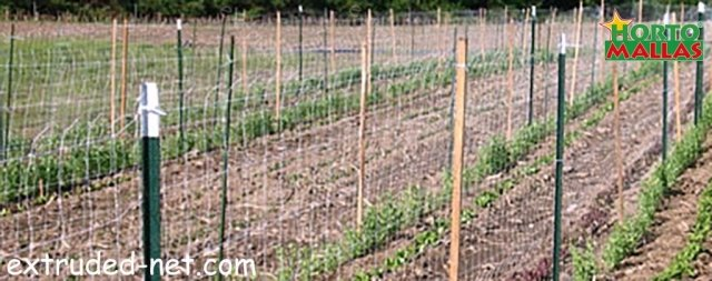 Tutoration of the crops with Trellis net and stakes